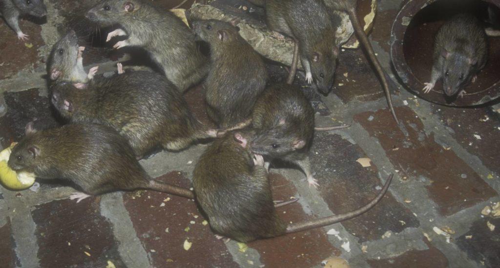 уничтожение крыс в Адыгейске