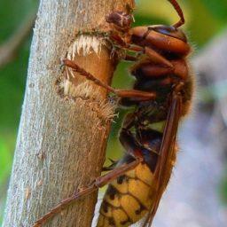 Уничтожение шершней в Адыгейске